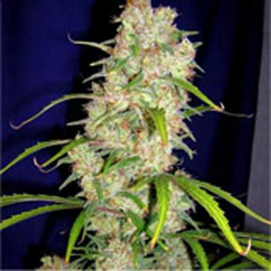 Destroyer regular de Cannabiogen