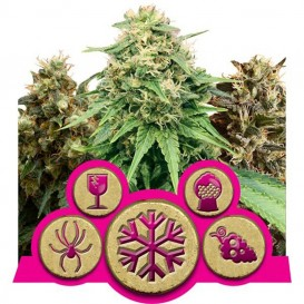Feminized Mix  de Royal...
