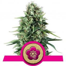 Power Flower feminizada de...