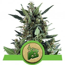 Auto Blue Cheese de Royal...