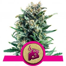 Blue Cheese feminizada de...