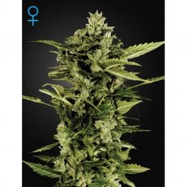 Auto-Bomb de Green House Seeds