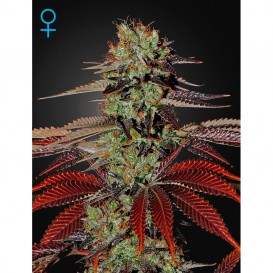 King´s Kush autofloreciente...