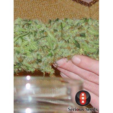 Double Dutch regular de Serious Seeds