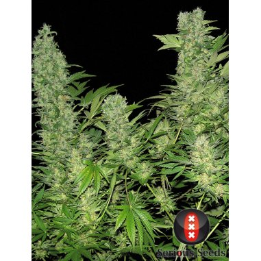 Double Dutch feminizada de Serious Seeds