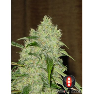 Bubble Gum feminizada de Serious Seeds