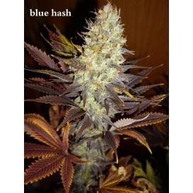 Blue Hash feminizada de...
