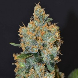 Lavender Classic Seeds...