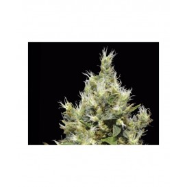 Northern Classic Seeds...