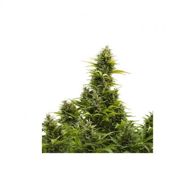Medikit puro CBD autofloreciente de Buddha Seeds
