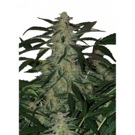 Deimos regular de Buddha Seeds