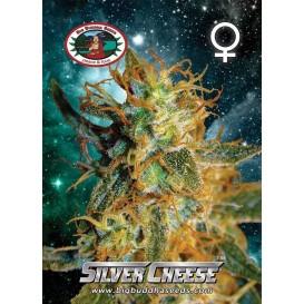 Silver Cheese feminizada de...