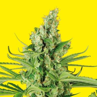 OG Moby Kush autofloreciente de XXL Seeds