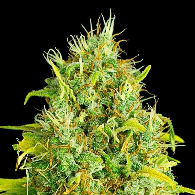 Critical Fruit autofloreciente de XXL Seeds