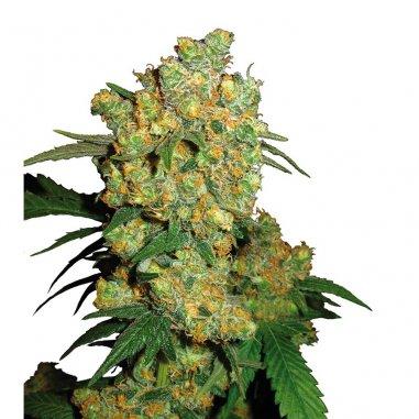 Big Bud regular de Sensi Seeds