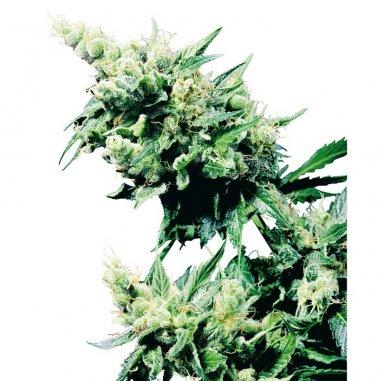 Hash Plant regular de Sensi Seeds