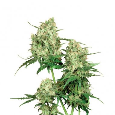 Maple Leaf Indica regular de Sensi Seeds