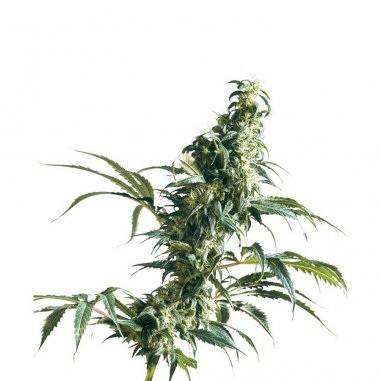 Mexican Sativa regular de Sensi Seeds
