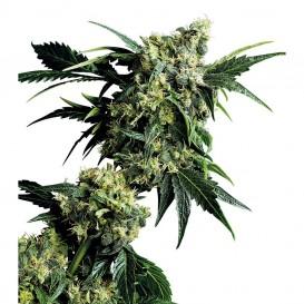 Mr. Nice G13 x Hashplant regular de Sensi Seeds
