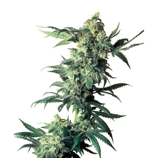 Northern Lights regular de Sensi Seeds