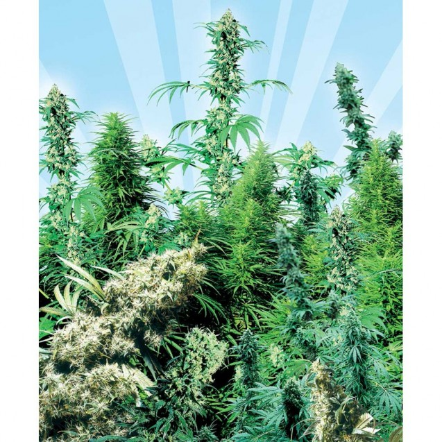 Outdoor Mix regular de Sensi Seeds