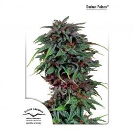 Durban Poison regular de Dutch Passion