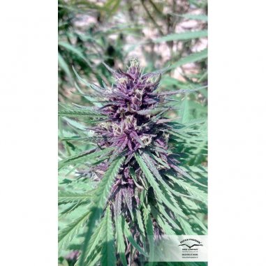 Purple 1 regular de Dutch Passion