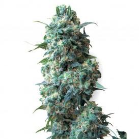 Afghan Kush regular de White Label Seeds