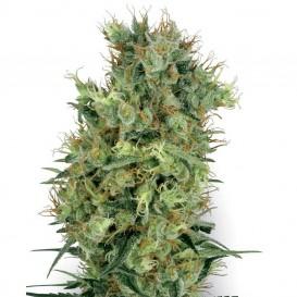 Californian Orange Bud regular de White Label Seeds