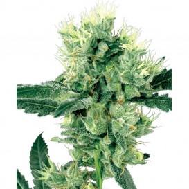 White Haze regular de White Label Seeds
